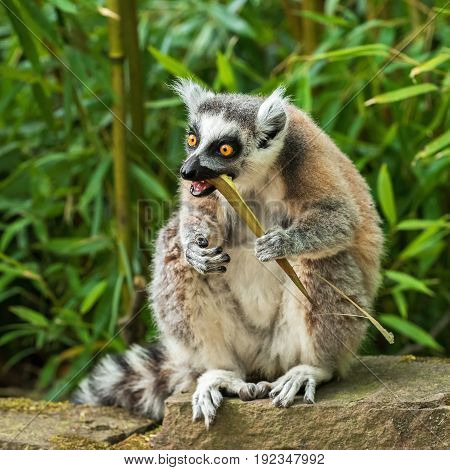 Adult lemur katta (Lemur catta) eating bamboo