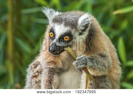 Portrait of an adult lemur katta eating bamboo