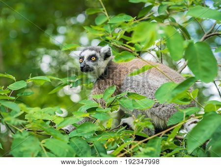 Portrait of an young lemur katta (Lemur catta) on a tree
