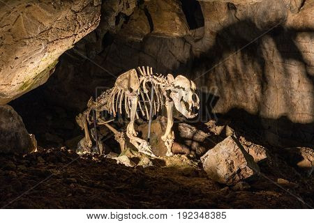 Enlightened skeleton of the bear in the limestone Katerinska cave in Moravian Karst. Czech Republic.
