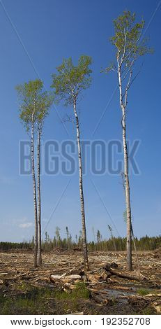 Four trees still standing after a big logging operation in Saskatchewan Canada