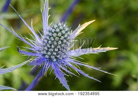 Sea Holly in Close up with blurred background