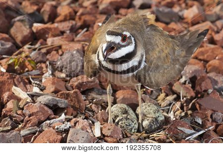 Killdeer warns off the camera too close to its eggs and nest