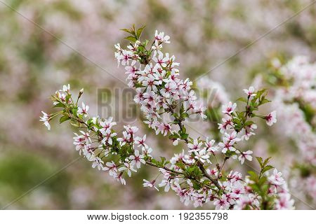 branches of cherry blossoms in the garden