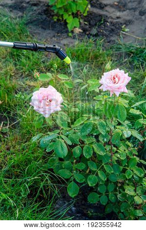 Protecting A Bush Of Roses From Vermin With Pressure Sprayer