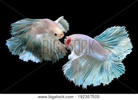Betta Or Saimese Fighting Fish.