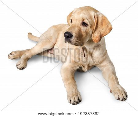 Labrador retriever labrador retriever white background one animal looking at camera isolated on white