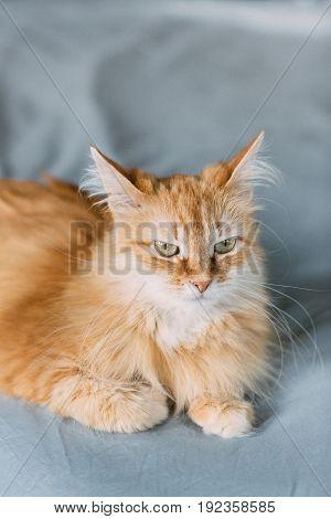 ginger cat portrait at home, nice background for your desktop