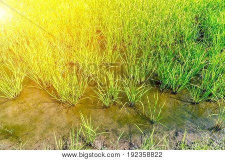 Rice Field On Rice Paddy