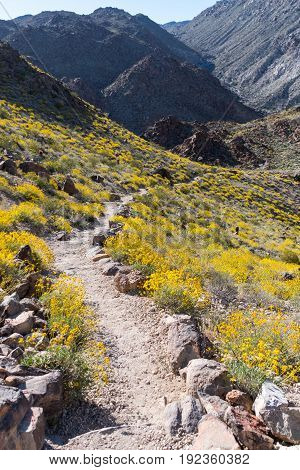 Dry Trail Heads Downhill Through Bristlebush Flowers