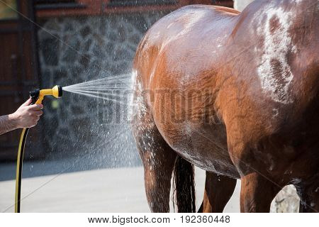 Cropped shot of person washing brown purebred horse outdoors
