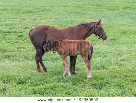 Foal Nurses in Green Pasture during early summer