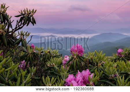 Foggy Valley And Pink Sky Behind Rhododendron
