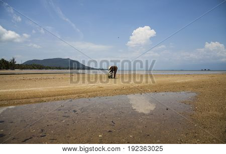 PHU QUOC, VIETNAM - March 20, 2017: Unknown local with traditional hat collecting trash during low tide on the beach of Phu Quoc island, Vietnam