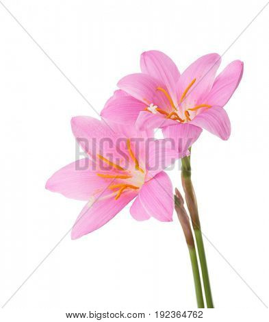 Two pink lilies isolated on a white background. Zephyranthes carinata.