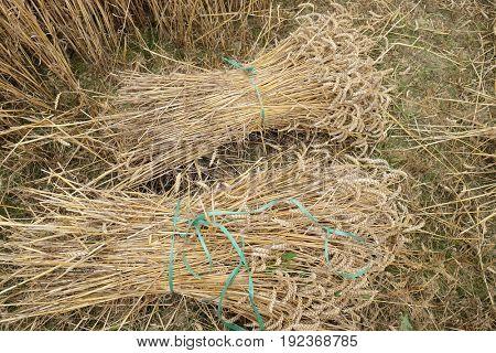Wheat Sheaf in a Field