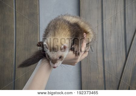 A Ferret In The Hands Of A Man. The Hand Holds The Ferret. Dear Ferret