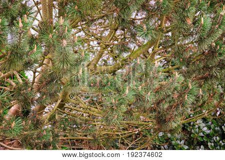 Pine tree with cones, closeup