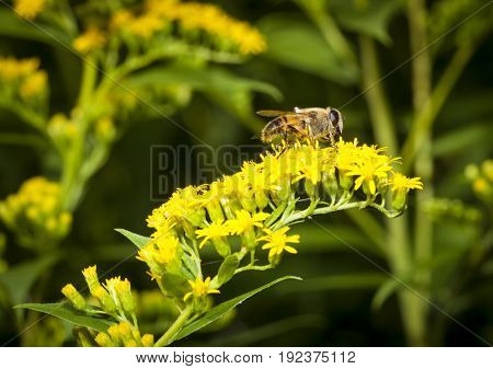 Bee collecting pollen on Canadian goldenrod blossom