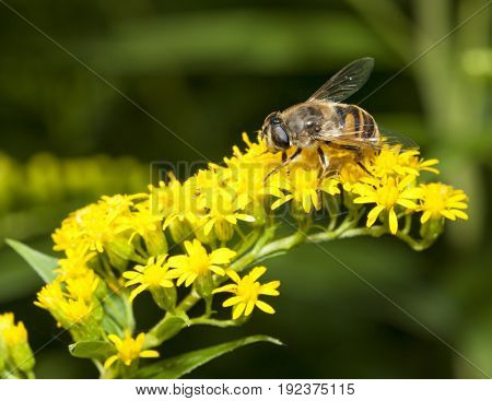 Macro of bee collecting pollen on Canada goldenrod (Solidago canadensis) blossom