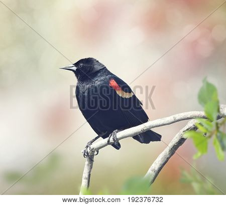 Red-Winged Blackbird on a branch