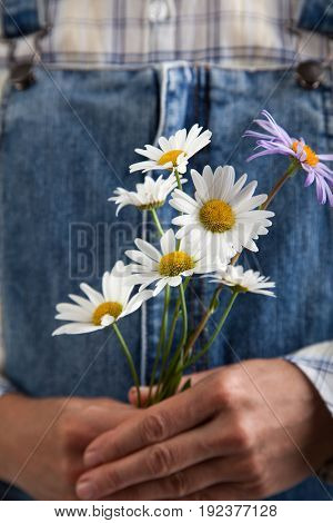 Chamomile in woman hands on summer jeans trousers background