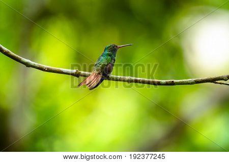 The rufous tailed hummingbird (Amazilia tzacatl) sits on the branch. Costa Rica
