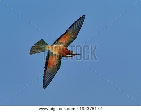 european bee-eater (Merops Apiaster) in natural habitat