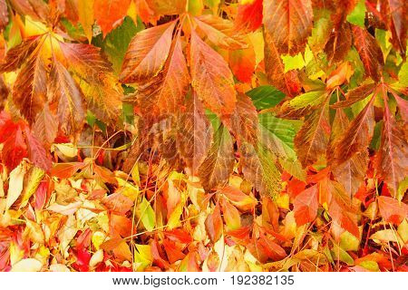 photography with scene of the autumn background from yellow sheet tree