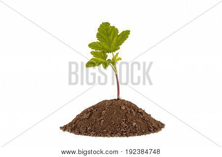 Young Currant. Green Plant Sprout Growing From Soil. Isolated On White.