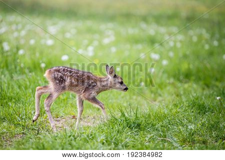 Young wild roe deer in grass Capreolus capreolus. New born roe deer wild spring nature.