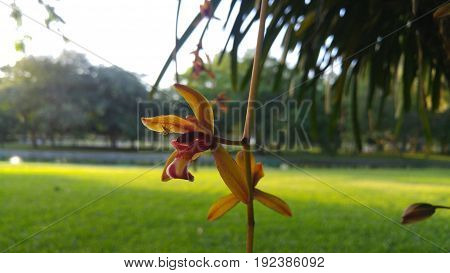 Cymbidium aloifolium growth at the park, Bangkok Thailand.