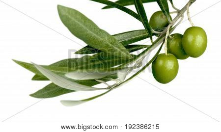Green branch olives white background olive branch white background