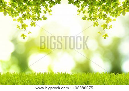Green leaves and green grass with green bokeh backgrounds. Bengal Almond. Indian Almond. Sea Almond. Abstract backgrounds.