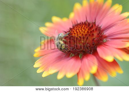 A yellow bee Pollinating Flowers gaillardia aristata poster