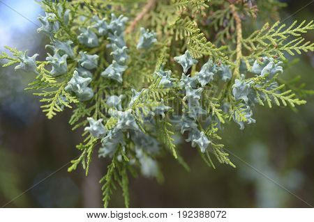 Close up of white cedar flowering branches
