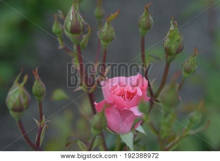 pink Rose bloom with green buds on natural background.