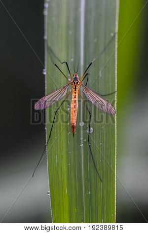 Tipula oleracea sitting on a grass with raindrops in a garden