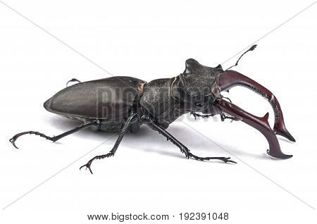 Male Stag Beetle Bug Insect. Close-up side view isolated on white background