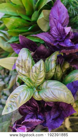 Fresh multicolored sprigs of basil in a box.