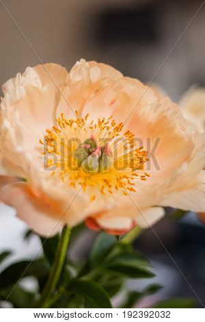 Orange peony flower with yellow stamens voice and leaves isolated on bokehbackground.