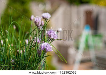Flowering chive in the summer sun. Purple flowering flowers with fresh green chives stems. Flowering herbs