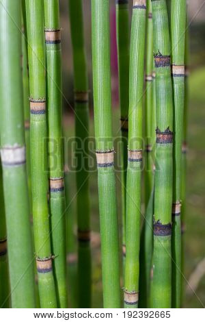 Long equisetum stalk. Green wallpaper with bamboo stem