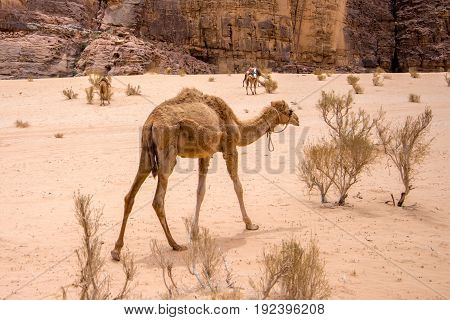 a dromedary also called the Arabian camel in the Wadi Rum desert