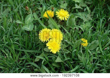Bunch Of Dandelion Flowers In Green Grass