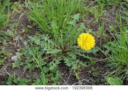Single Flower Of Dandelion In Open Uncultivated Land