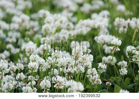 A clearing of a white clover Trifolium repens.