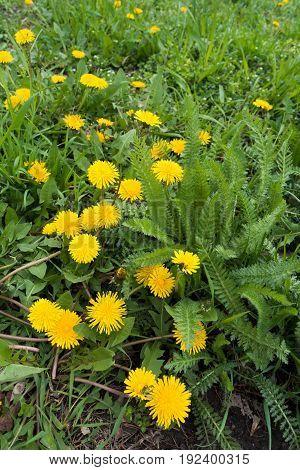 Flowering Taraxacum Officinale And Green Leaves Of Achillea Millefolium