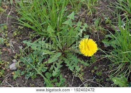 Single Flower Of Dandelion In The Natural Grassland