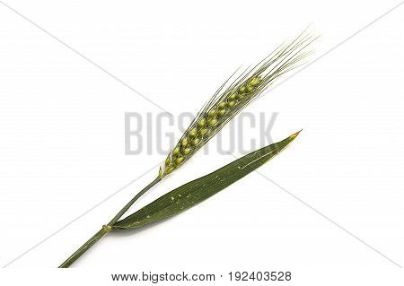 Wheat spike with white background, wheat spike plant, sample wheat spike